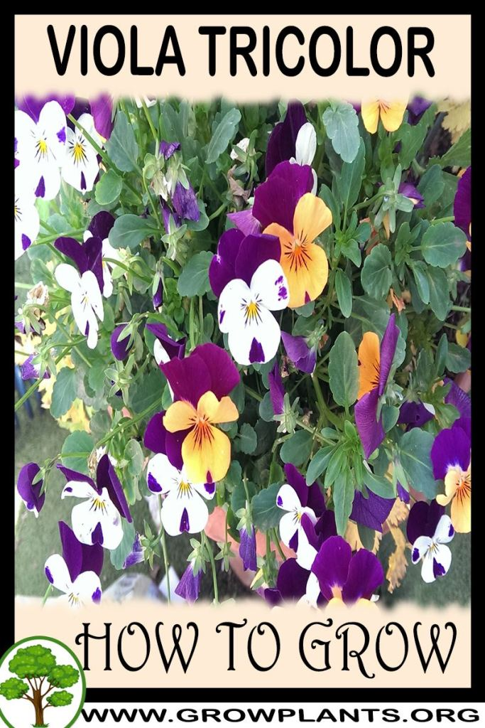 How to grow Viola tricolor