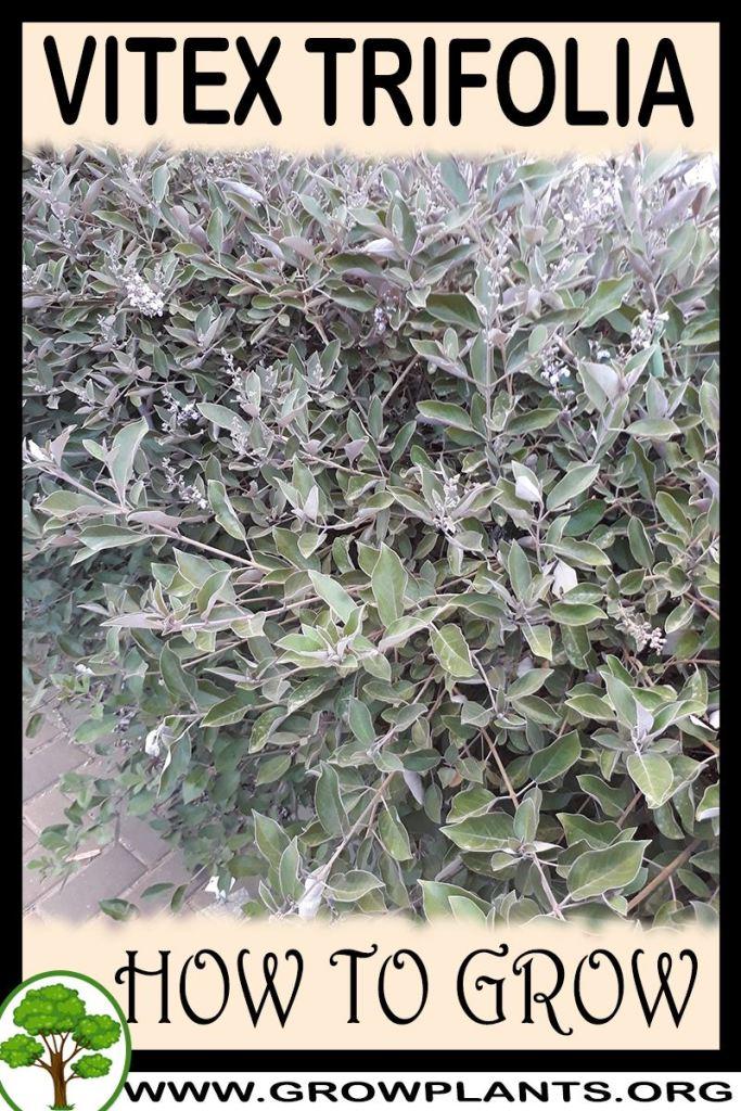 How to grow Vitex trifolia