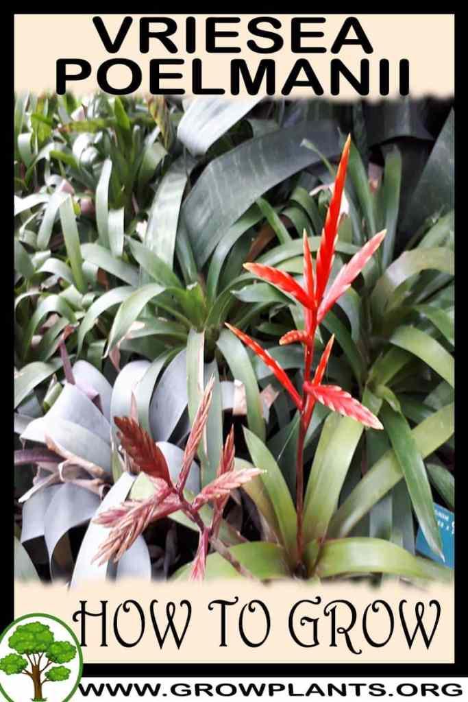 How to grow Vriesea poelmanii