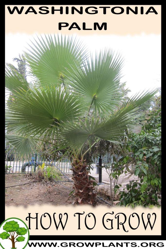 How to grow Washingtonia palm