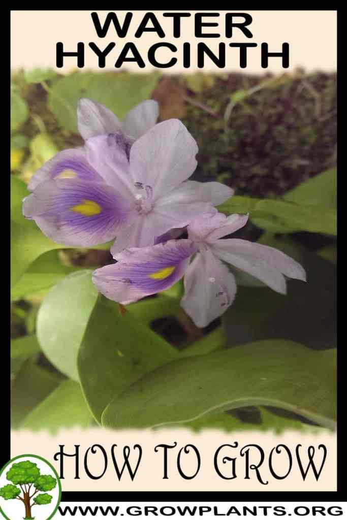 How to grow Water hyacinth