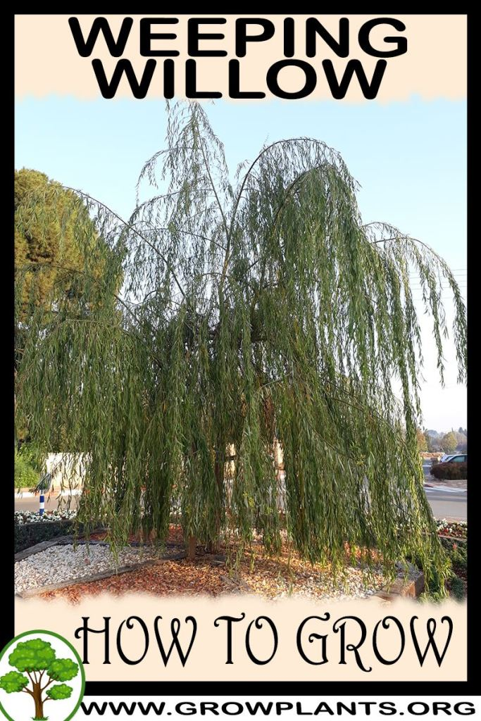 How to grow Weeping willow