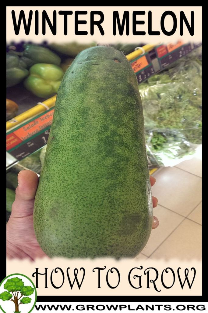 How to grow Winter melon