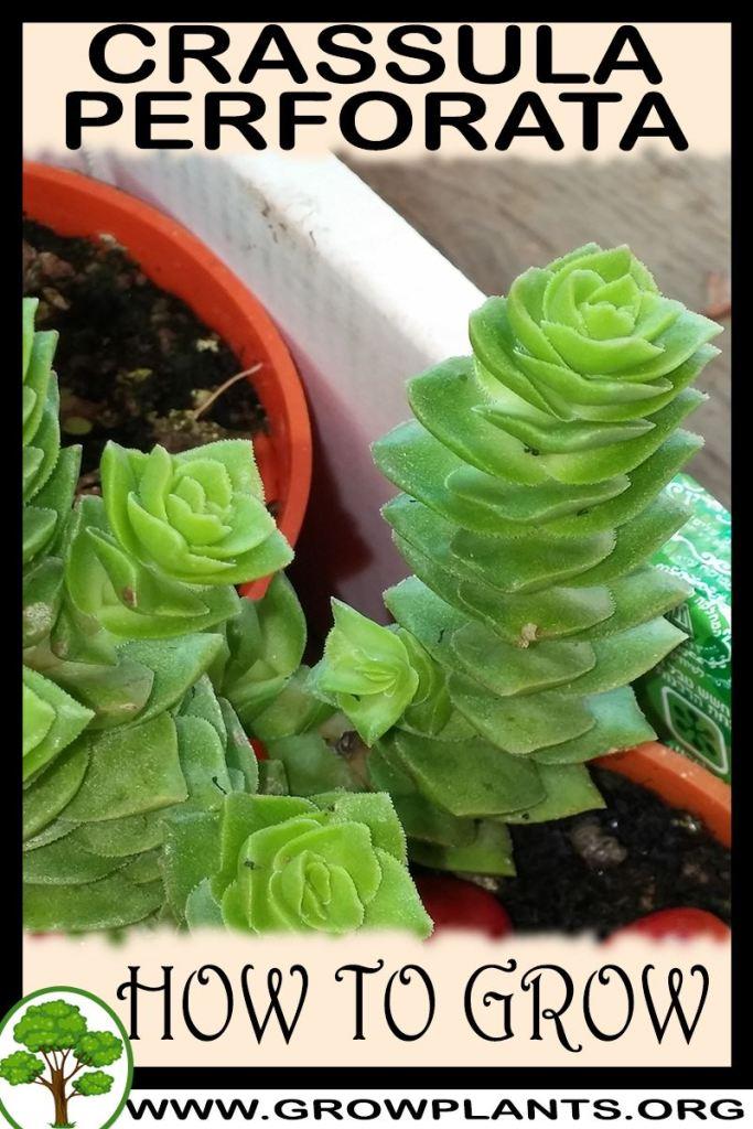 How to grow Crassula perforata