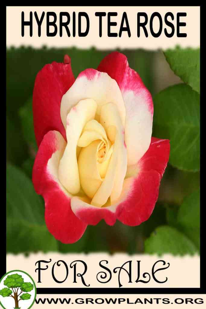 Hybrid tea rose for sale