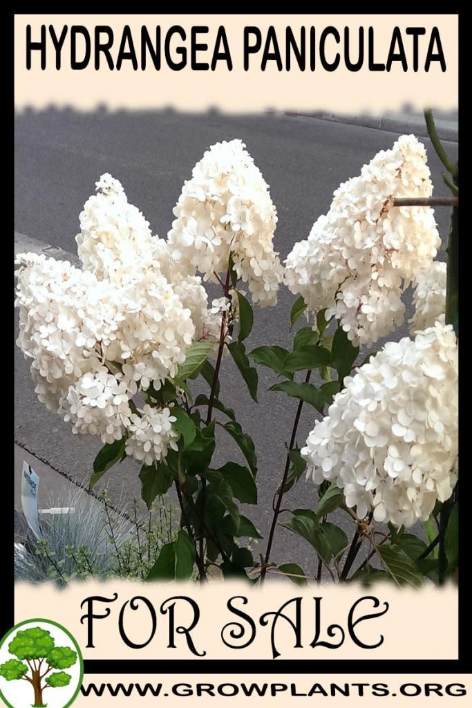 Hydrangea paniculata for sale