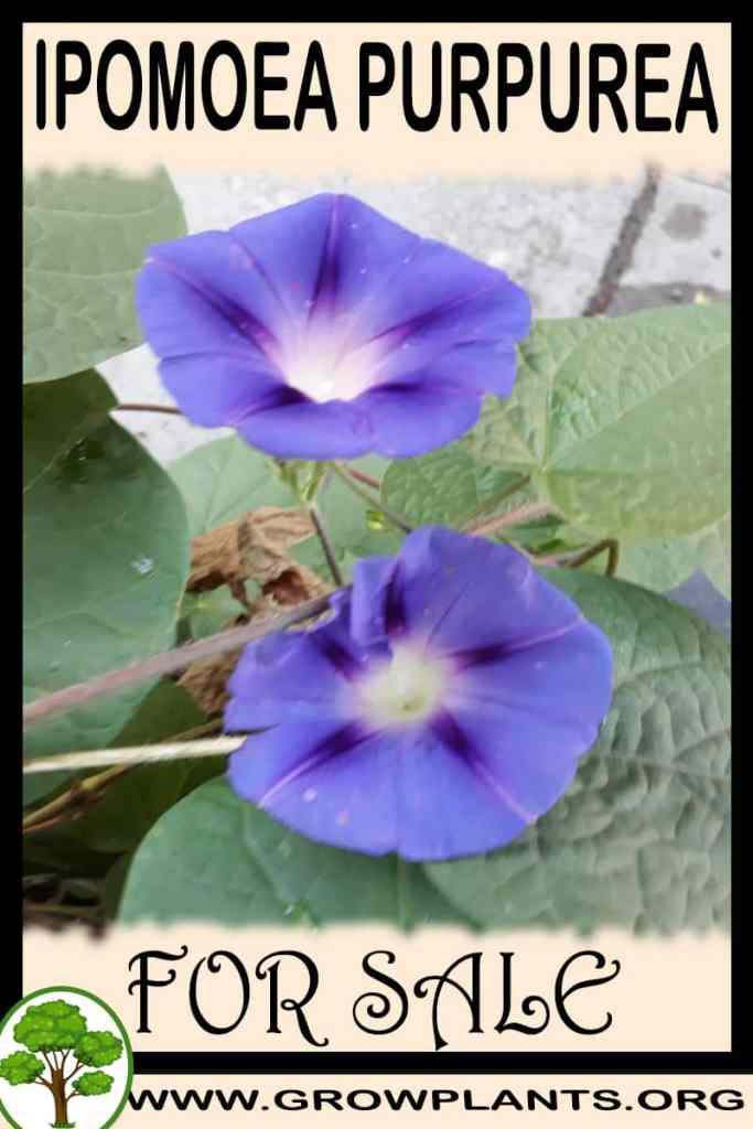 Ipomoea purpurea for sale