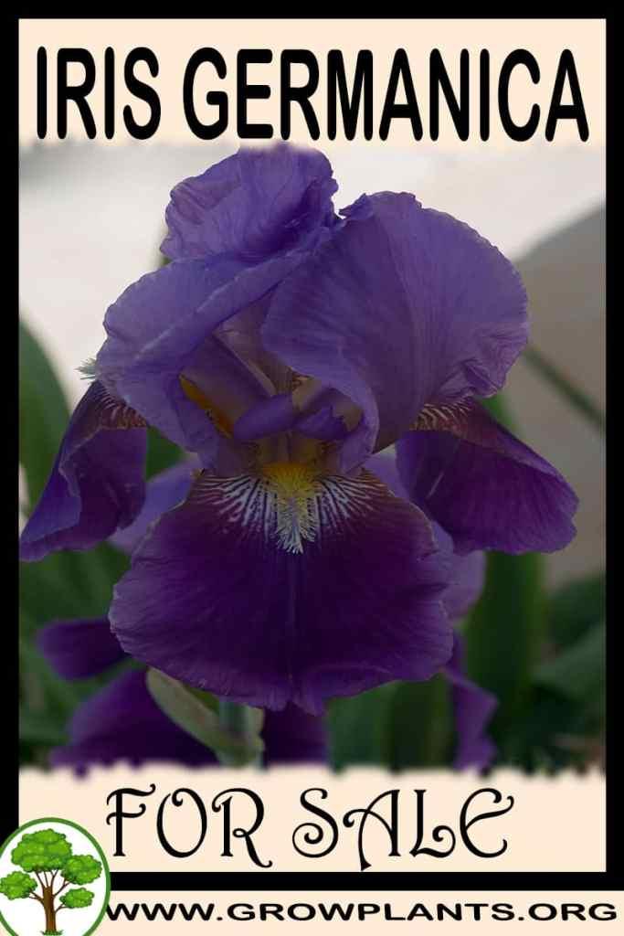 Iris germanica for sale