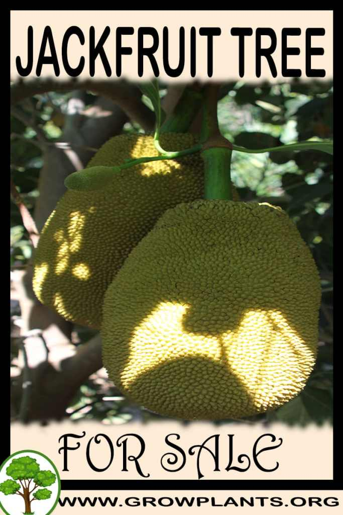 Jackfruit tree for sale