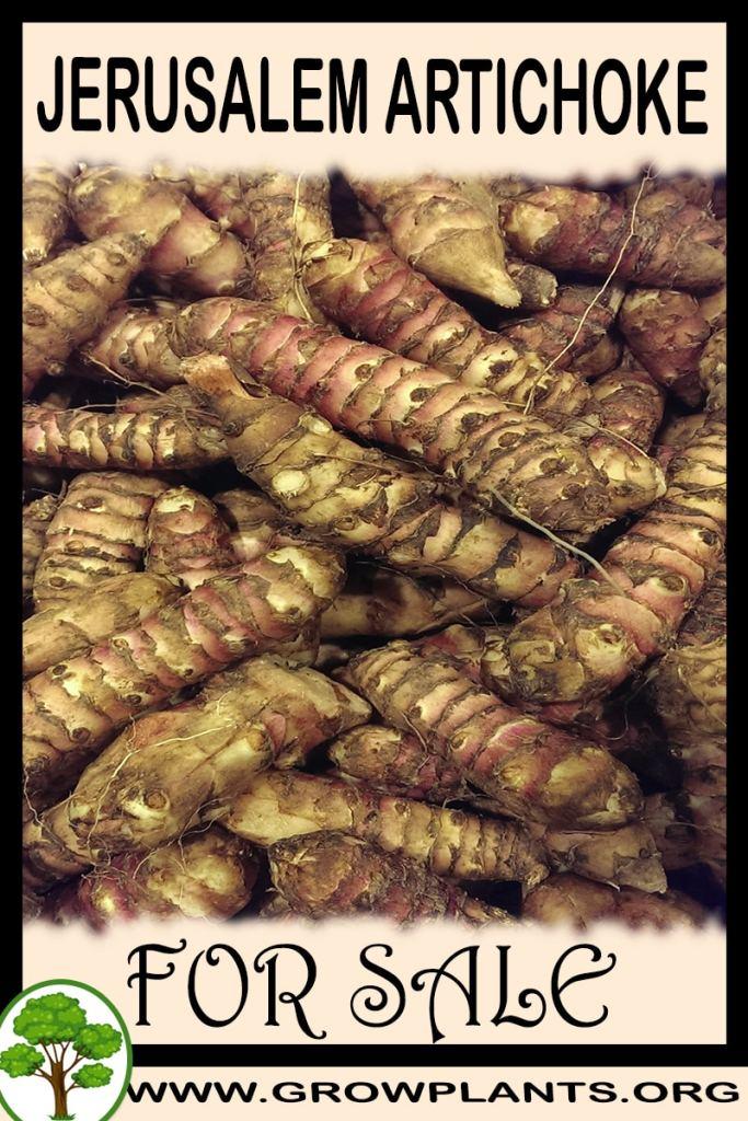 Jerusalem artichoke tubers for sale