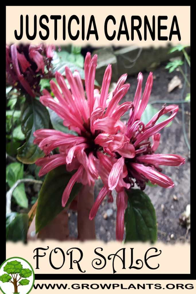 Justicia carnea for sale