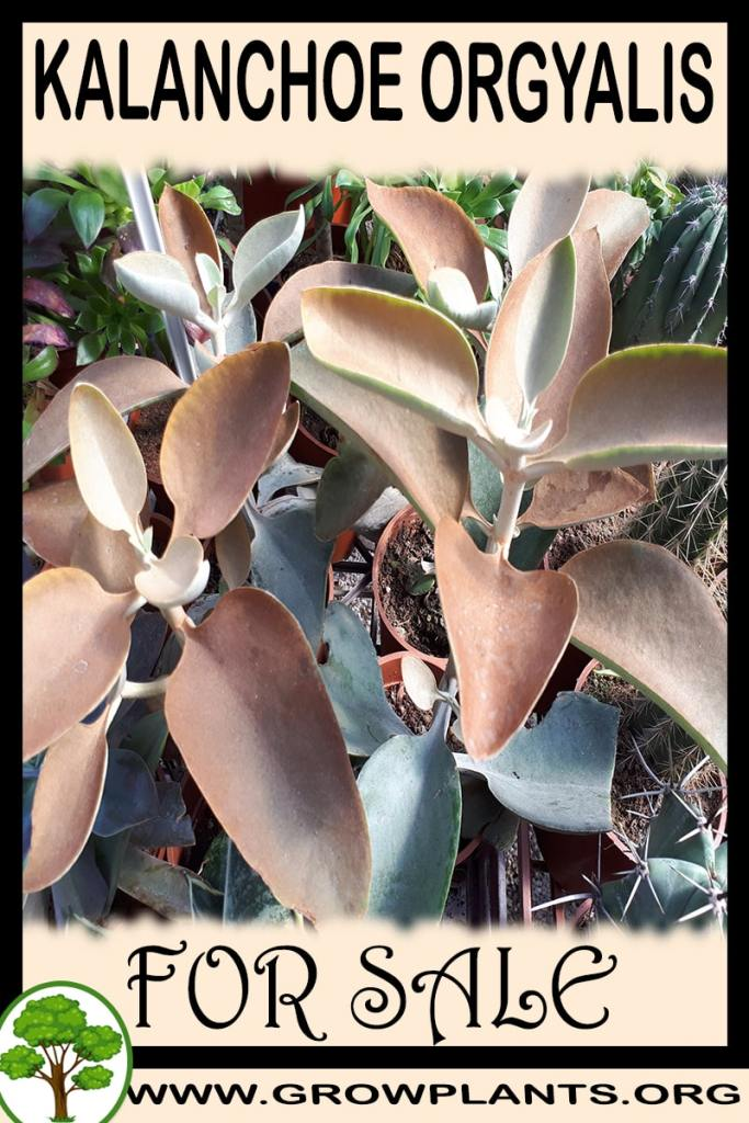 Kalanchoe orgyalis for sale