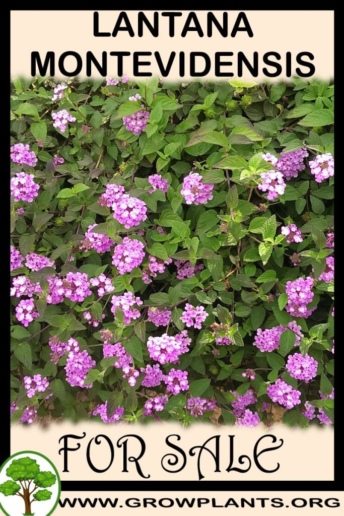Lantana montevidensis for sale
