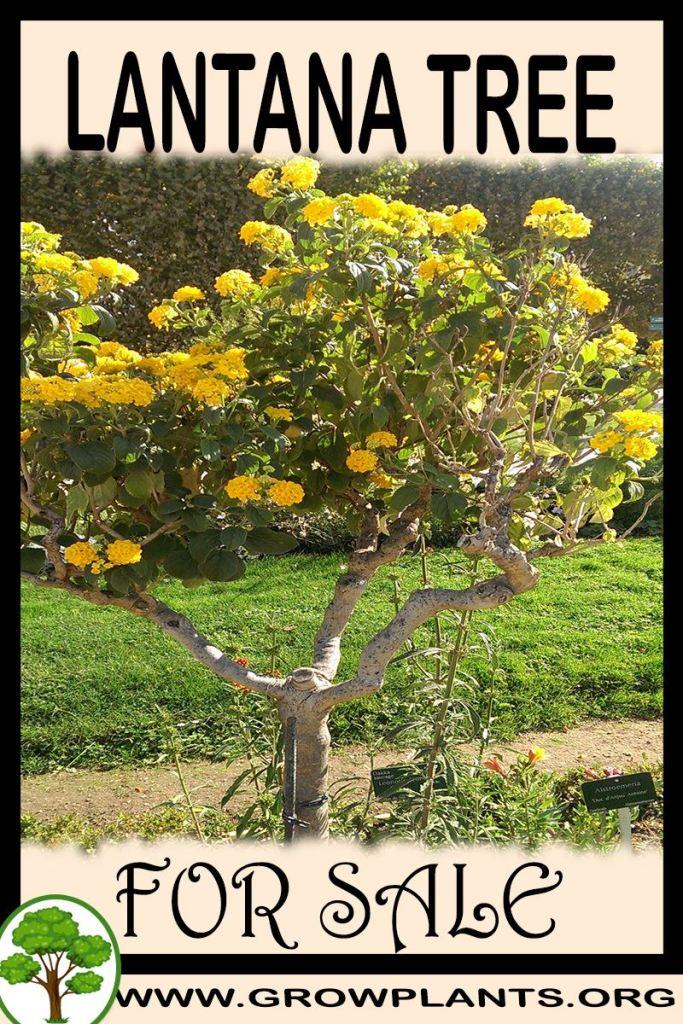 Lantana tree for sale