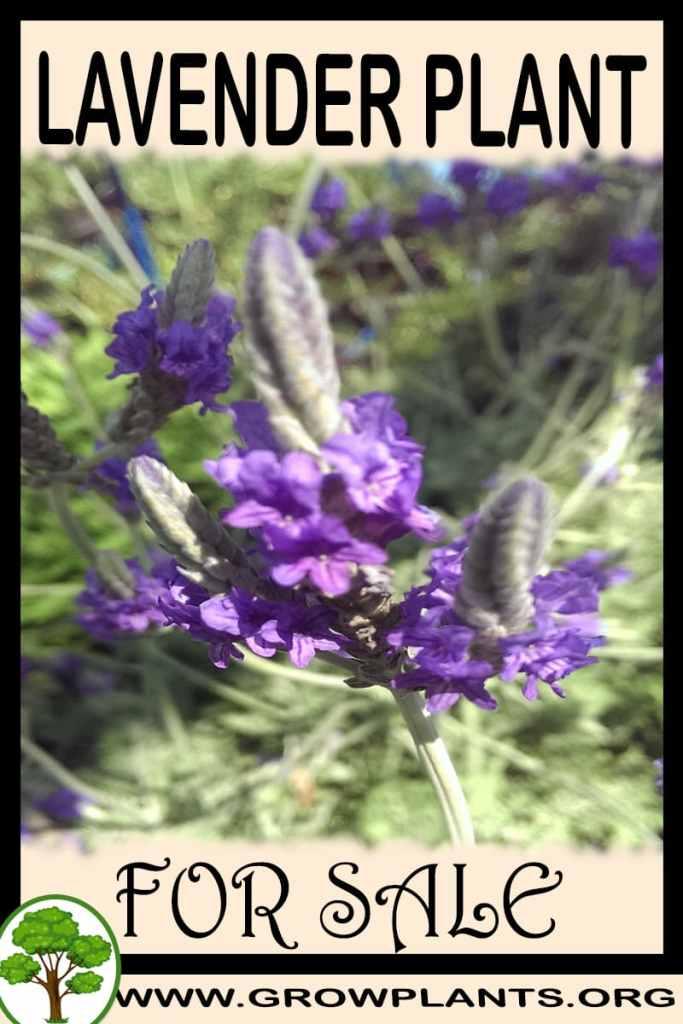 Lavender plant for sale