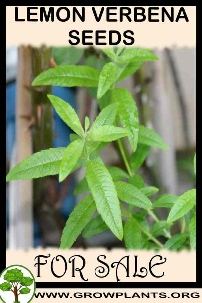 Lemon verbena seeds for sale