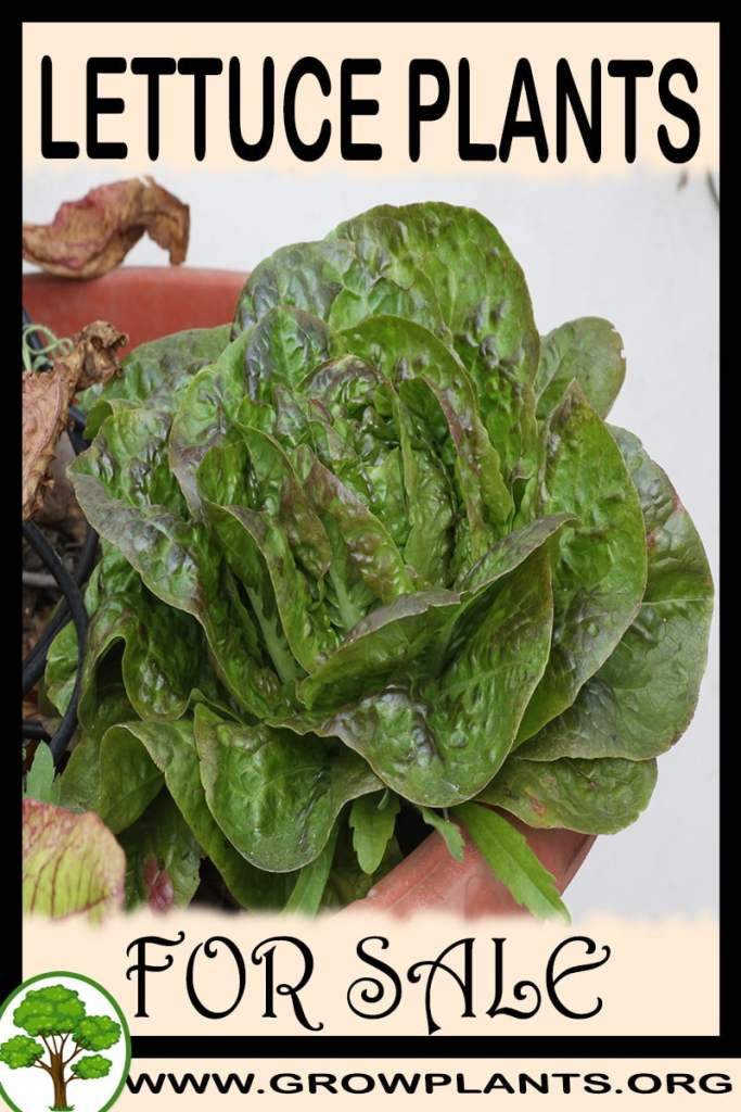 Lettuce plants for sale
