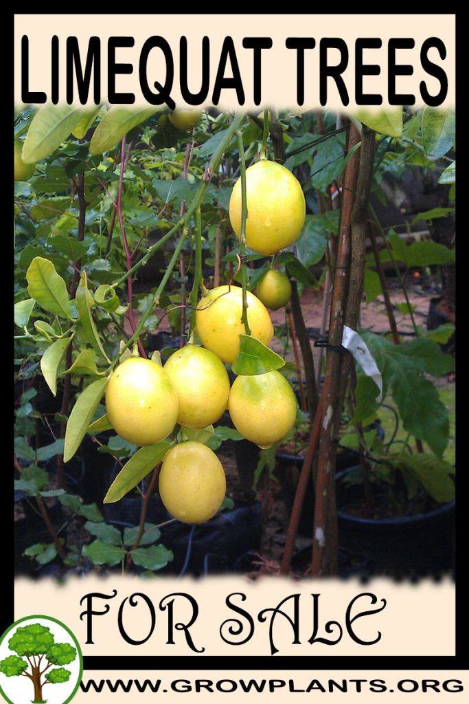 Limequat trees for sale