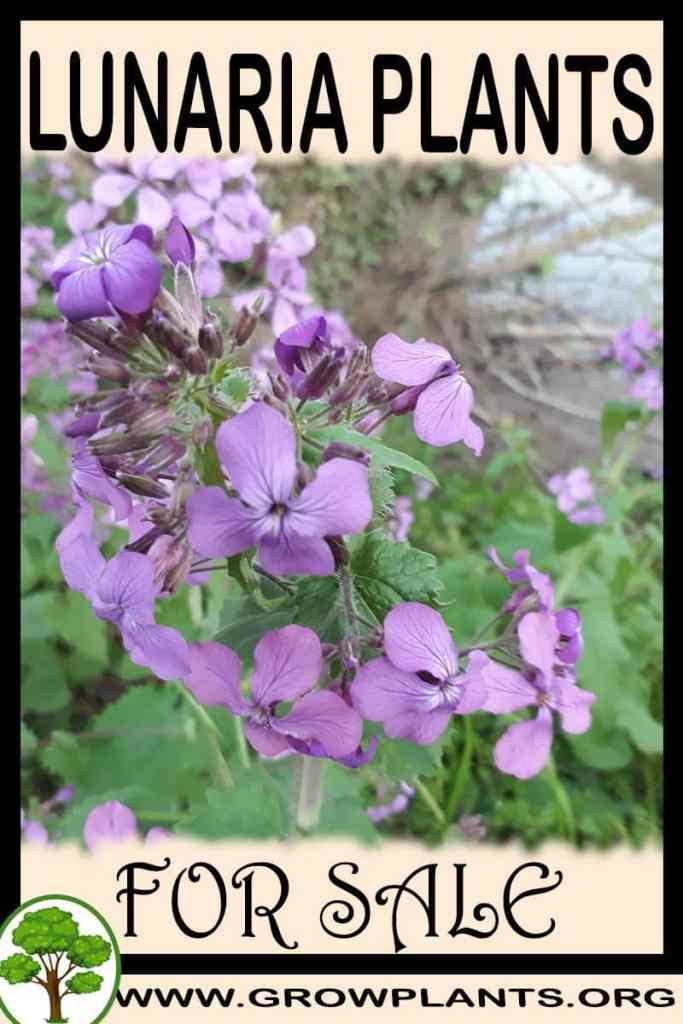 Lunaria plants for sale