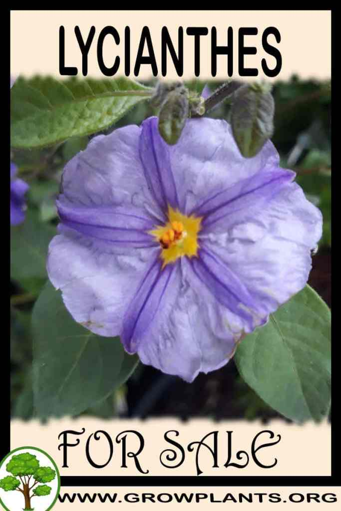 Lycianthes for sale