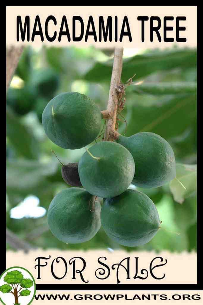 Macadamia tree for sale