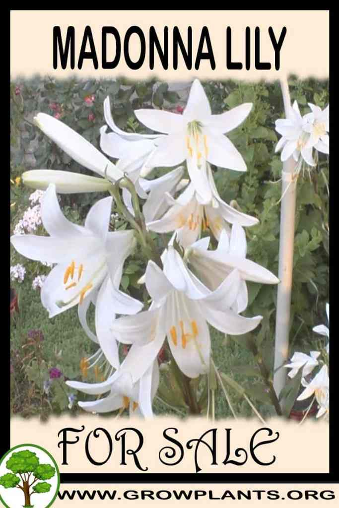 Madonna lily for sale