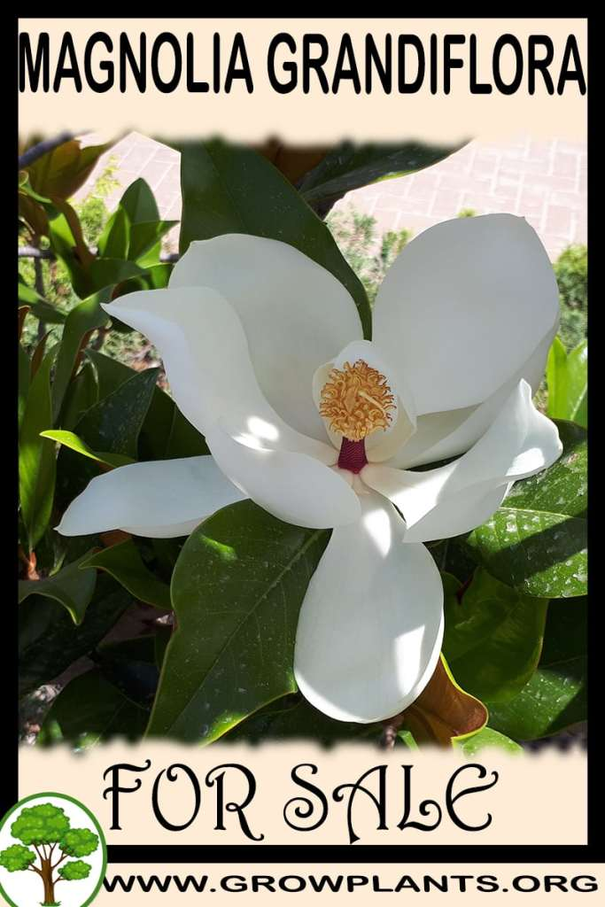 Magnolia grandiflora for sale