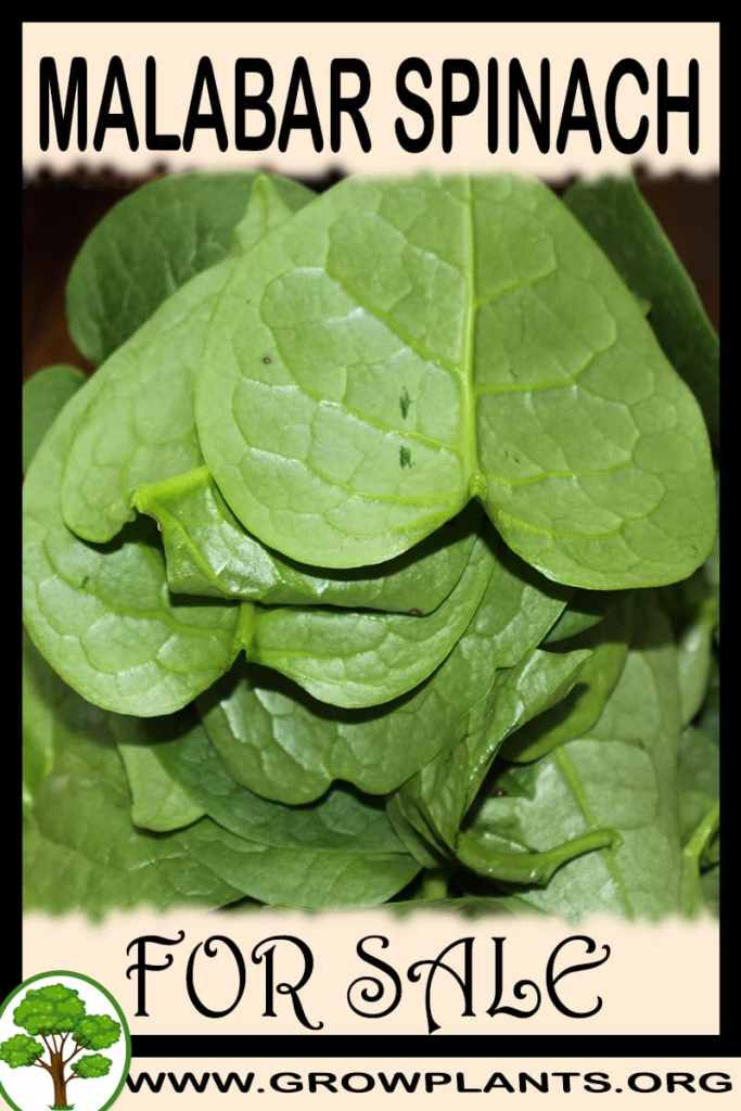 Malabar spinach plants for sale