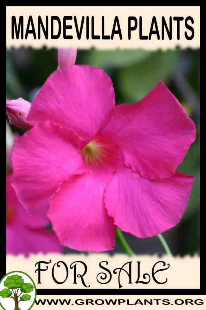 Mandevilla plants for sale