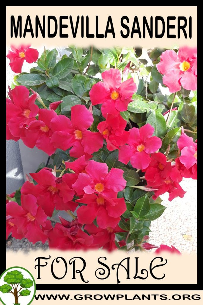 Mandevilla sanderi for sale