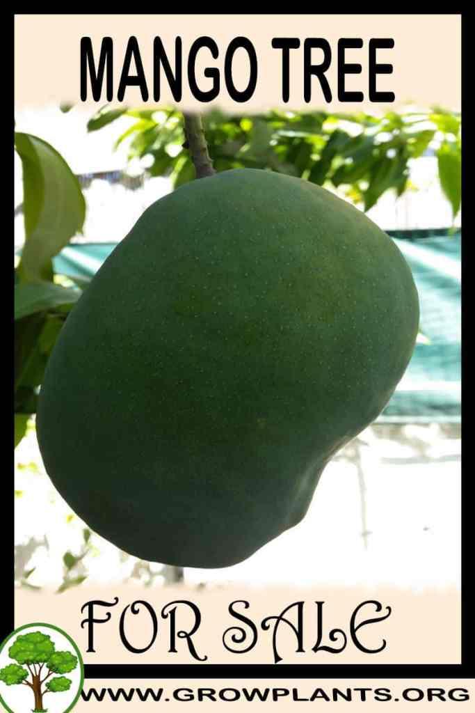 Mango tree for sale