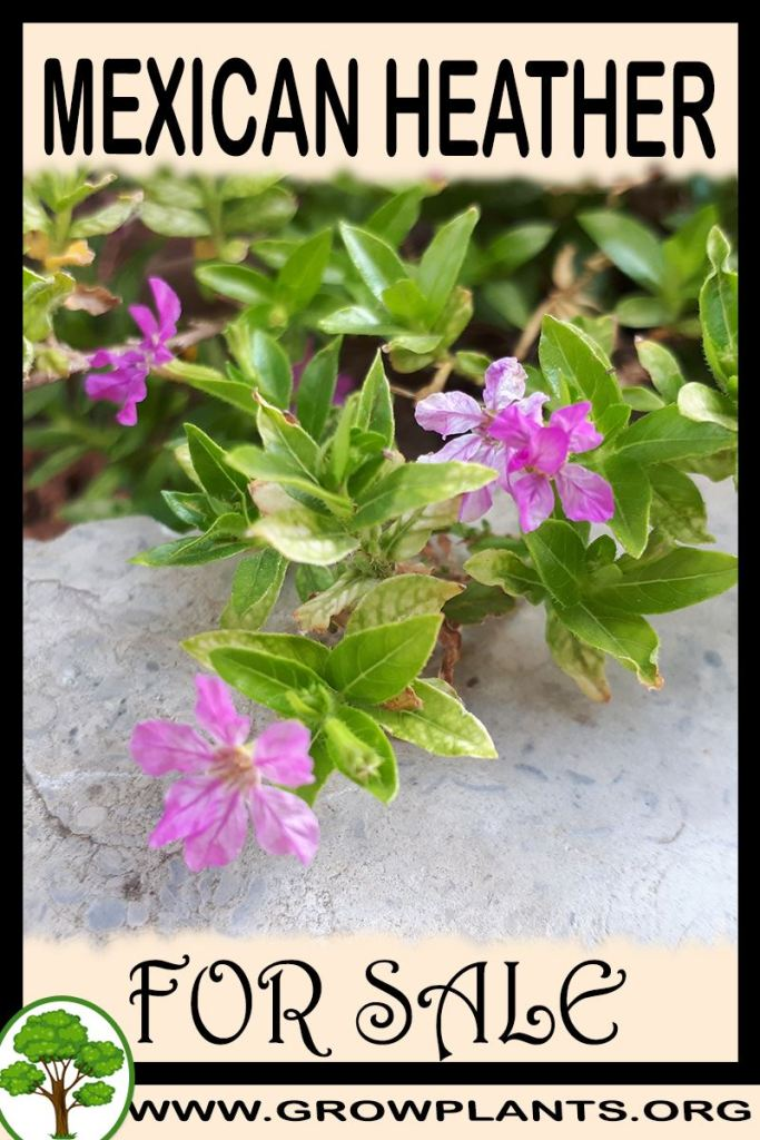 Mexican heather for sale