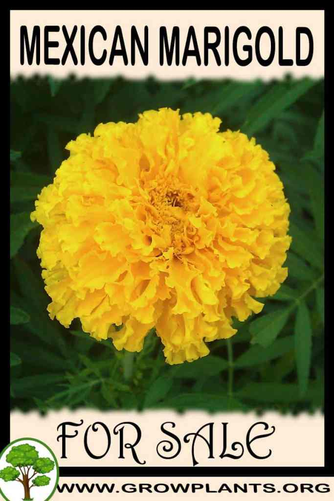 Mexican marigold for sale