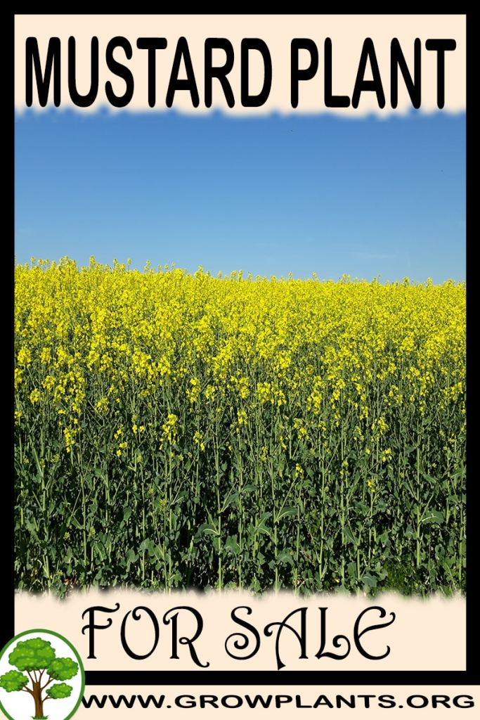 Mustard plant for sale