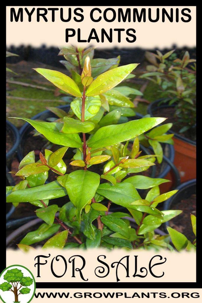 Myrtus communis plants for sale