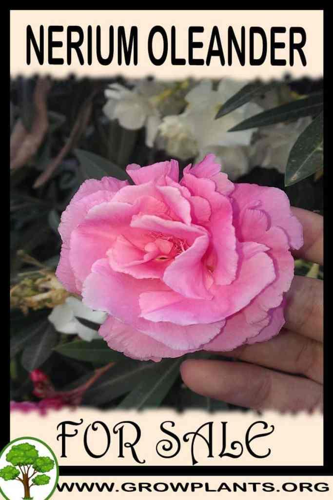 Nerium oleander for sale