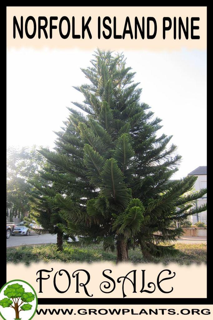 Norfolk island pine for sale