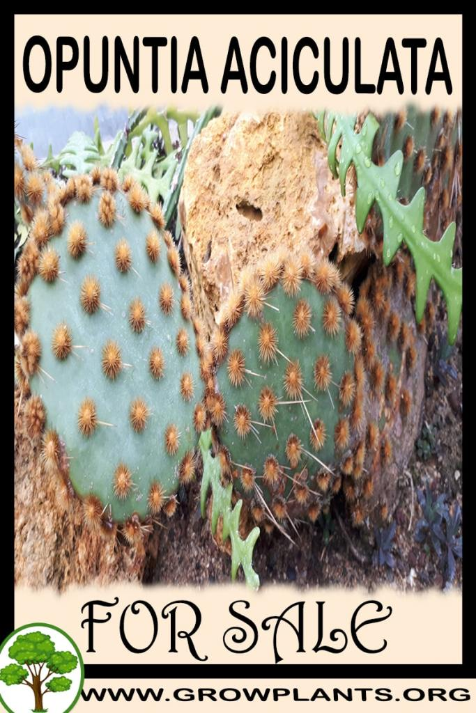 Opuntia aciculata for sale