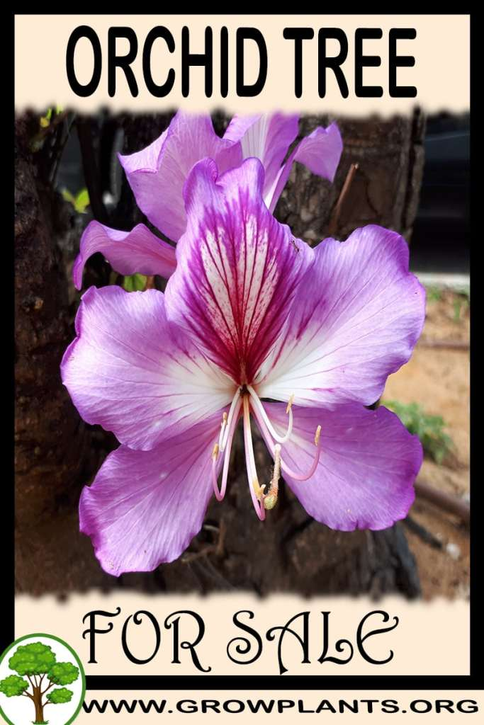 Orchid tree for sale