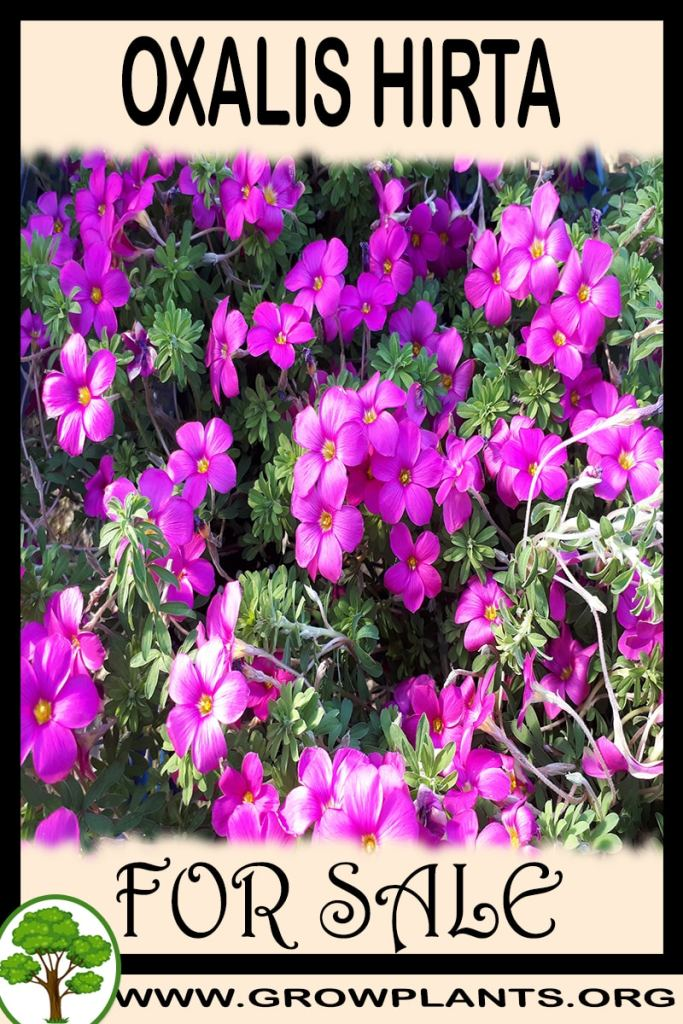 Oxalis hirta for sale
