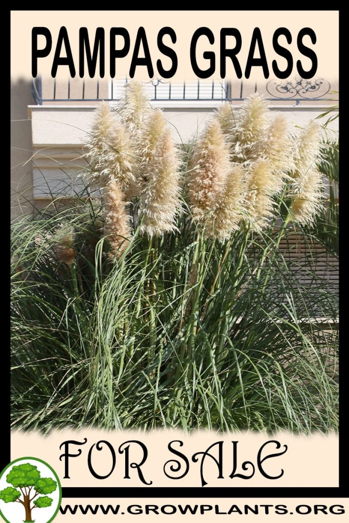Pampas grass plants for sale