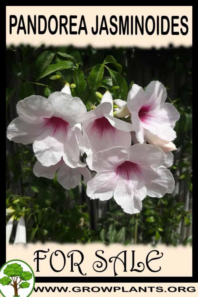 Pandorea jasminoides for sale