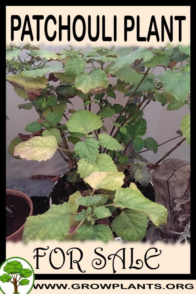 Patchouli plant for sale