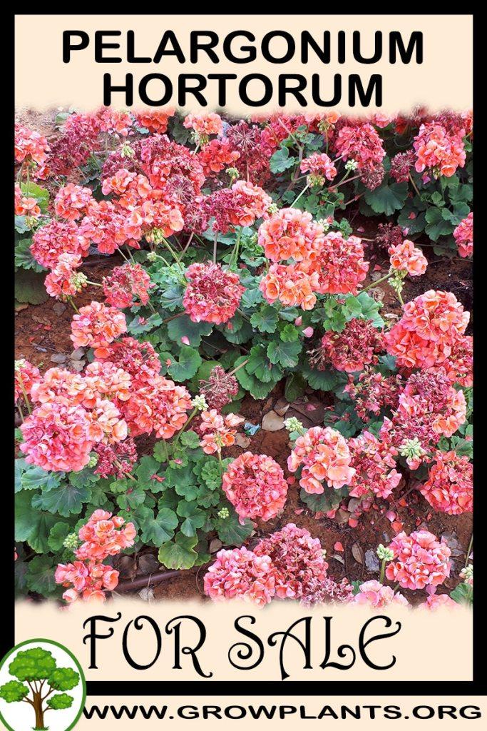 Pelargonium hortorum for sale