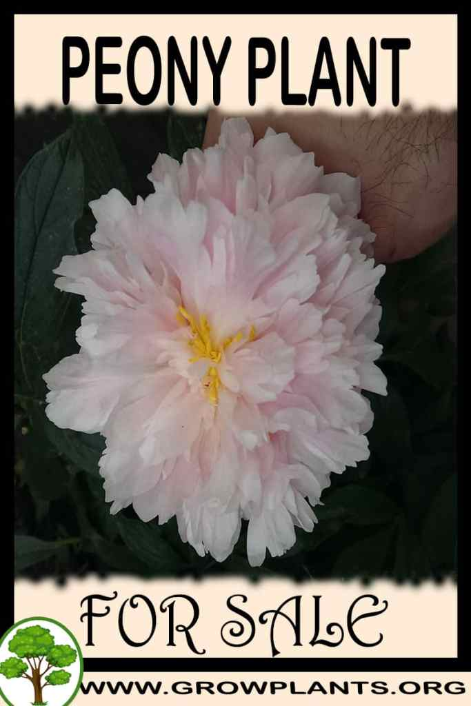 Peony for Sale