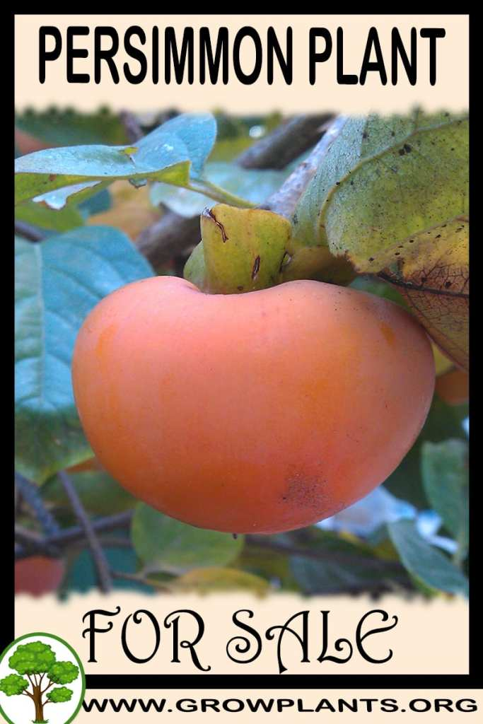 Persimmon plant for sale