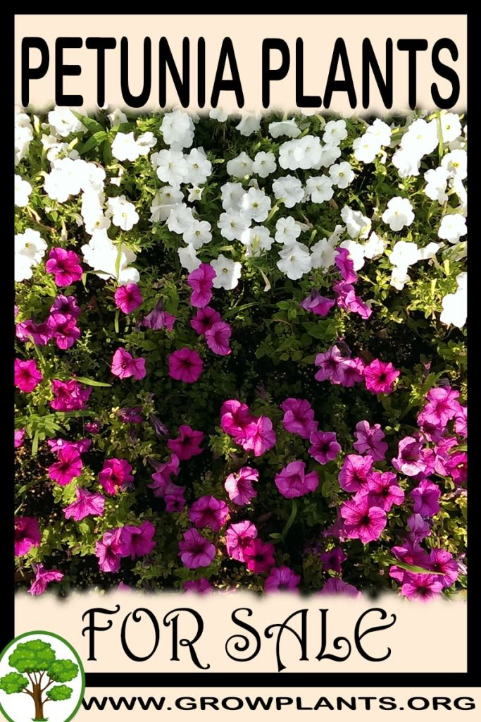 Petunia plants for sale