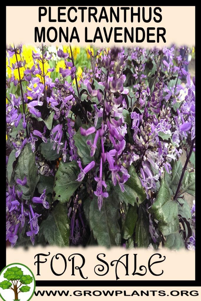 Plectranthus mona lavender for sale