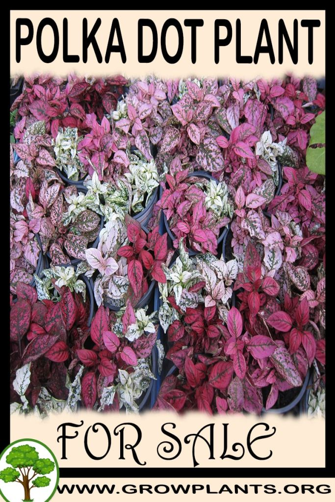 Polka dot plant for sale