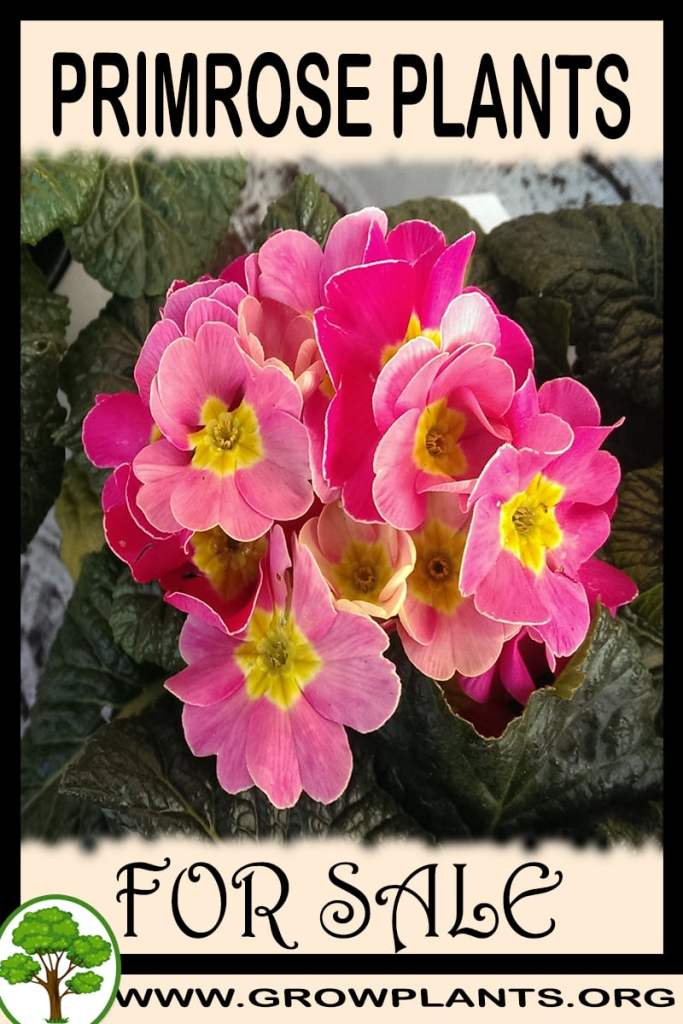 Primrose plants for sale